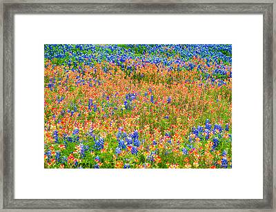 Symphony Of Wildflowers - Bluebonnet And Indian Paintbrush In Texas Framed Print by Ellie Teramoto