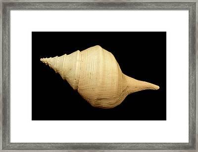Syrinx Aruanus Framed Print by Natural History Museum, London