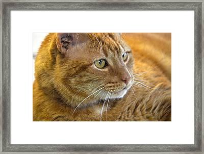 Tabby Cat Portrait Framed Print by Sandi OReilly