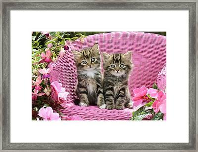 Tabby Kittens Framed Print by Greg Cuddiford