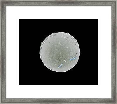 Tadpole Shrimp Egg Framed Print by Petr Jan Juracka