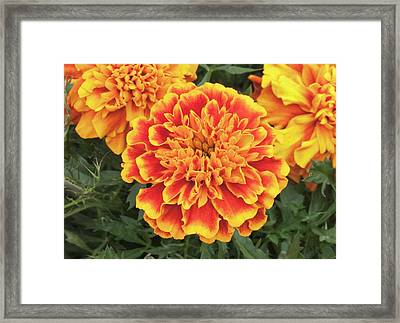 Tagetes Patula 'bonanza Mix' Flowers Framed Print by Ann Pickford