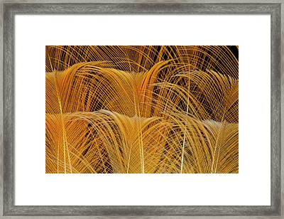 Tail Feathers Of Guianan Rupicola Or Framed Print by Darrell Gulin