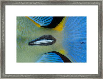 Tail Spike Of Surgeonfish Framed Print by Science Photo Library