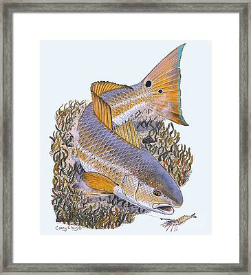 Tailing Redfish Framed Print by Carey Chen