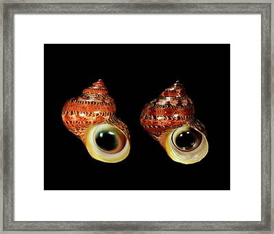 Tapestry Turban Sea Snail Shells Framed Print by Gilles Mermet