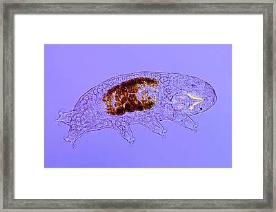 Tardigrade Framed Print by Marek Mis