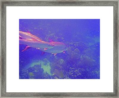 Tarpon Reef Framed Print by Carey Chen