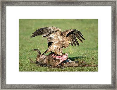 Tawny Eagle Aquila Rapax Eating A Dead Framed Print by Panoramic Images