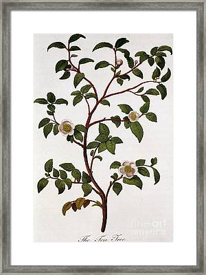 Tea Branch Of Camellia Sinensis Framed Print by Anonymous
