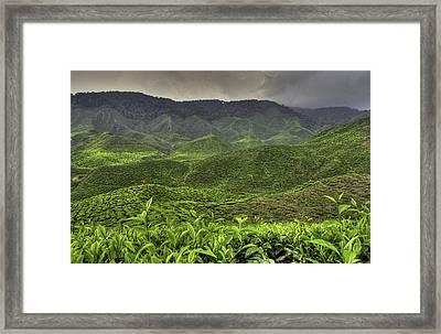 Tea Farm Framed Print by Mario Legaspi