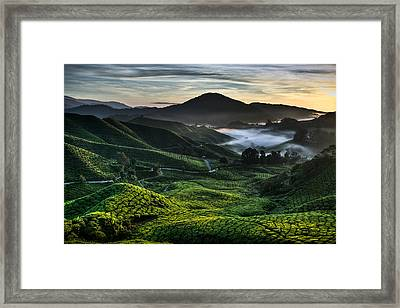 Tea Plantation At Dawn Framed Print by Dave Bowman