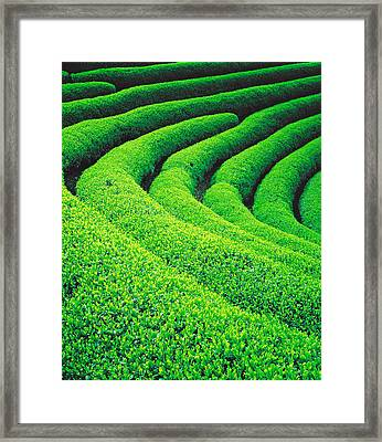 Tea Plantation Framed Print by Panoramic Images