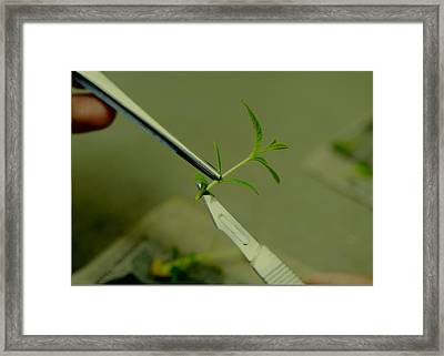 Teak Cloning Framed Print by Science Photo Library