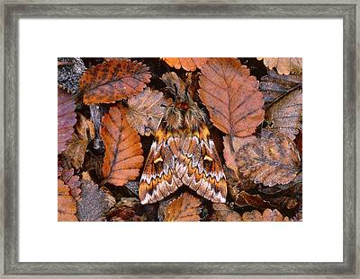 Temperate Rainforest Moth, La Framed Print by Andres Morya Hinojosa