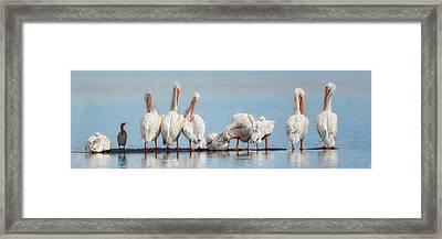 Ten Pelicans Minus One Framed Print by Jai Johnson