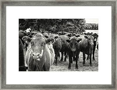 Tennessee Cattle Framed Print by Jon Woodhams