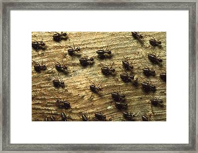Termites On Wood With One Carrying Framed Print by Konrad Wothe