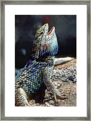 Territorial Threat Display Of Male Framed Print by Thomas Wiewandt