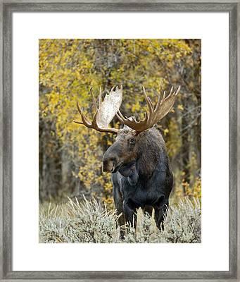 Teton Bull Moose Framed Print by Gary Langley
