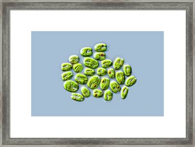 Tetraselmis Green Algae Framed Print by Gerd Guenther