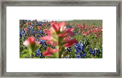 Texas Beauties Framed Print by David  Norman