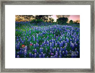 Texas Bluebonnet Field Framed Print by Inge Johnsson