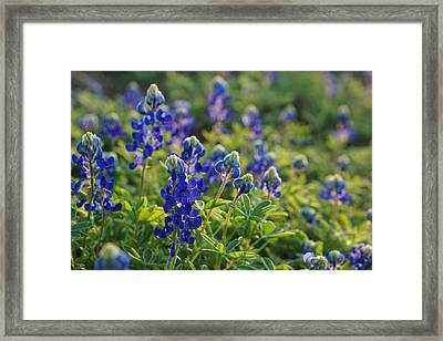 Texas Bluebonnets In Early Sun Framed Print by Lisa  Spencer