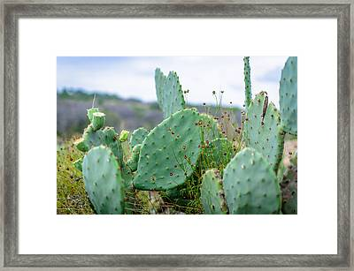 Texas Cactus Framed Print by David Morefield