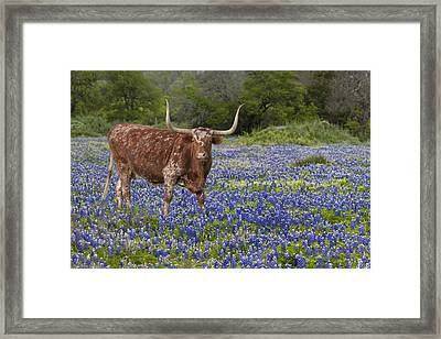 Texas Longhorn In Texas Bluebonnets 4 Framed Print by Rob Greebon