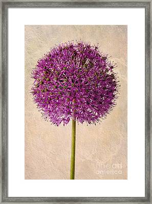 Textured Allium Framed Print by John Edwards