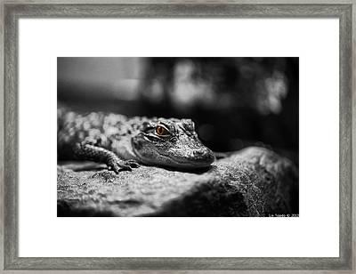 The Alligator's Eying You Framed Print by Linda Leeming