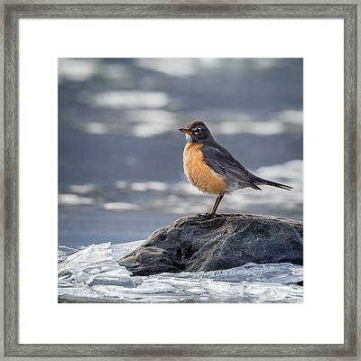 The American Robin Square Framed Print by Bill Wakeley