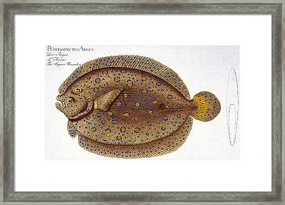 The Argus Flounder Framed Print by Andreas Ludwig Kruger
