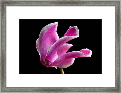 The Art Of Cyclamen Framed Print by Terence Davis