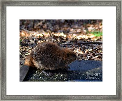 The Beaver Framed Print by Eva Thomas