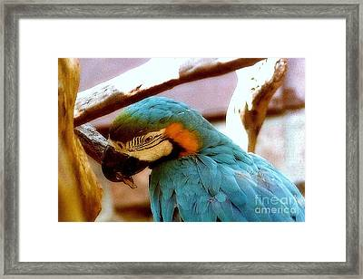 The Blue Macaw Framed Print by Michael Hoard