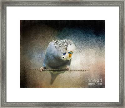 The Budgie Collection - Budgie 3 Framed Print by Jai Johnson