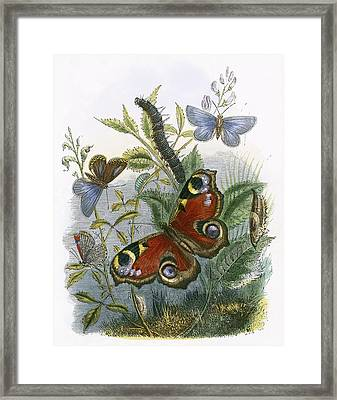 The Butterfly Vivarium Framed Print by English School