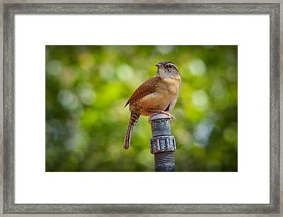 The Carolina Wren Framed Print by Linda Unger