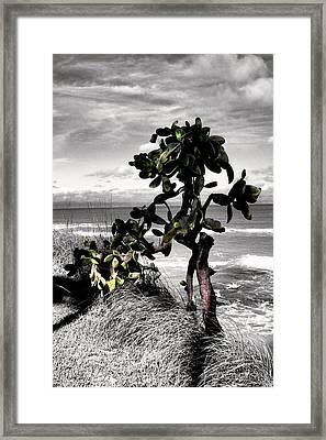 The Catus Tree Siesta Key Florida Framed Print by Tom Prendergast