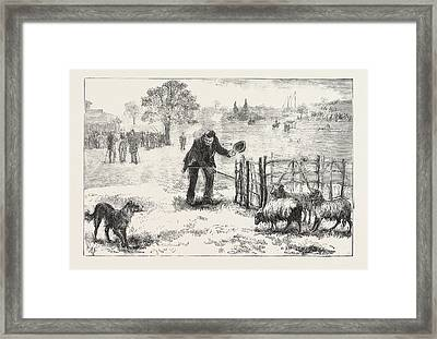 The Collie Dog Trials At The Alexandra Palace,  Penning Framed Print by English School