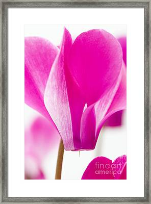 The Cyclamen That Fought Back Framed Print by Anne Gilbert