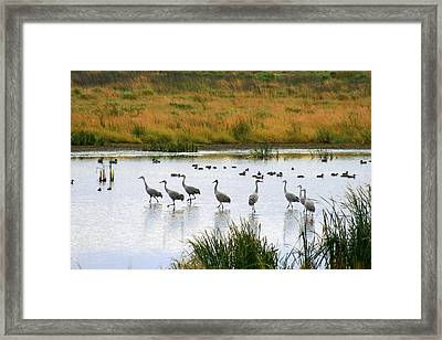 The Dance Of The Sandhill Cranes Framed Print by Kay Novy