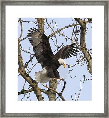 The Eagle Is Landing Framed Print by Angie Vogel