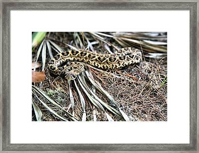 The Eastern Diamondback Rattlesnake Framed Print by JC Findley