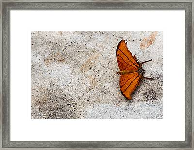 The Elusive Butterfly  Framed Print by Rene Triay Photography