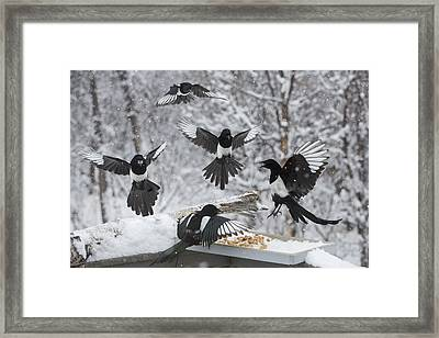 The Feeding Frenzy Framed Print by Tim Grams