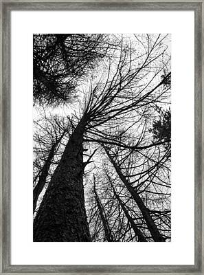 The Forest Stands Tall. Framed Print by Daniel Kay