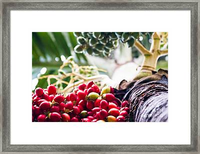 The Foxtail Palm - Wodyetia - Red Palm Fruits Maui Hawaii  Framed Print by Sharon Mau